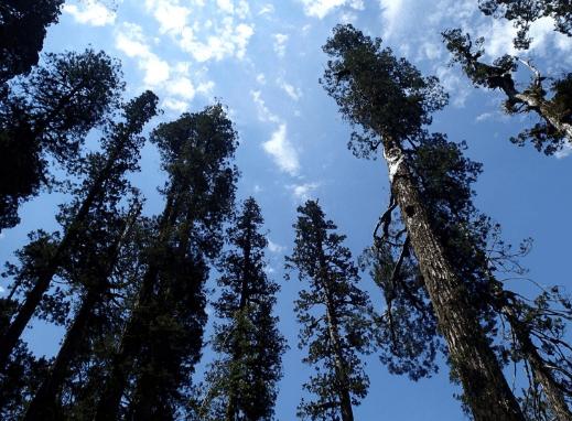 The Alerce Tree