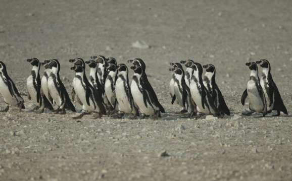Humboldt Penguins in Northern Chile